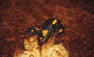 Жуки в костромском музее природы