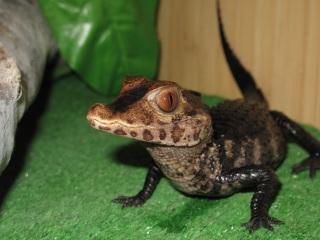 Крокодил из костромского контактного зоопарка