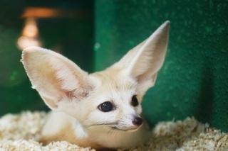 Лиса с большими ушами в контактном зоопарке