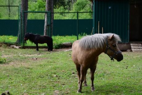 kostromskoy-zoopark poni